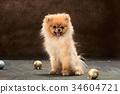 Spitz-dog in studio on a neutral background 34604721