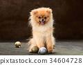 Spitz-dog in studio on a neutral background 34604728
