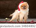 Spitz-dog in studio on a neutral background 34604892