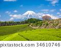 Tea Plantation and Mt. Fuji 34610746