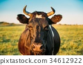 Close Up Of Cow In Meadow Or Field With Green 34612922