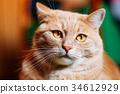 Orange Red Cat Male Kitten Close Up Portrait 34612929