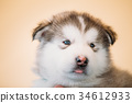Alaskan Malamute puppy Dog sits in hands of owner 34612933