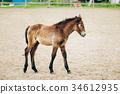 Portrait Of Brown Foal In Farm Paddock 34612935