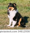 The Shetland Sheepdog, Sheltie, Collie Puppy 34612936