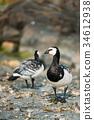 Two Barnacle Geese, Branta Leucopsis Wild Sea 34612938