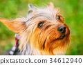 Close Up Cute Yorkshire Terrier Dog Outdoor 34612940