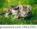 Playful Cute Tabby Gray Cat Kitten Pussycat 34612941