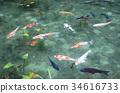 pond, lagoon, khoi 34616733