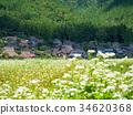 buckwheat field, buckwheat flower, beautiful mountain 34620368
