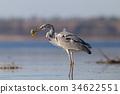 fish, heron, water 34622551