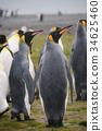wildlife, king, penguin 34625460