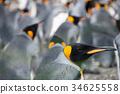 wildlife, king, penguin 34625558