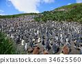 wildlife, king, penguin 34625560
