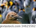 wildlife, king, penguin 34625562