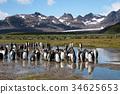 wildlife, king, penguin 34625653