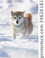 狗 狗狗 日本犬 34626181