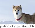 狗 狗狗 日本犬 34626184