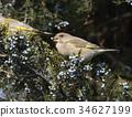 金翅雀 绿色 野生生物 34627199