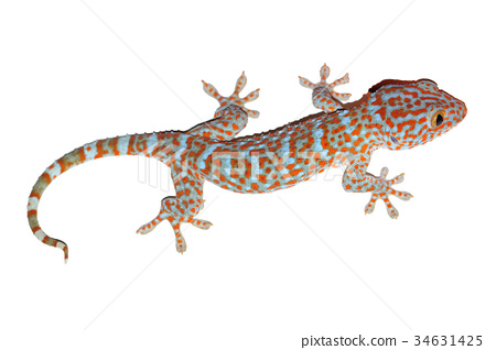 gecko isolated on white with clipping path 34631425