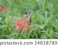 蝴蝶 凤蝶 花朵 34638789