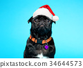 Black pug wearing Santa hat 34644573