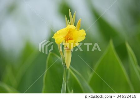 美人蕉 花朵 花 34652419