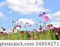 คอสมอส,ดอกไม้,สดใส 34654271