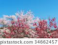 春の青空に映える桜・梅の花 34662457