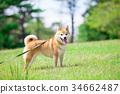 柴犬 叢林犬 毛孩 34662487