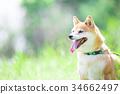 柴犬 叢林犬 毛孩 34662497