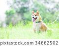 柴犬 叢林犬 毛孩 34662502