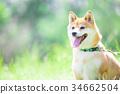 柴犬 叢林犬 毛孩 34662504