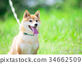 柴犬 叢林犬 毛孩 34662509