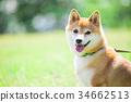 柴犬 叢林犬 毛孩 34662513