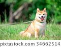 柴犬 叢林犬 毛孩 34662514