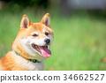 柴犬 叢林犬 毛孩 34662527