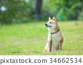 柴犬 叢林犬 毛孩 34662534