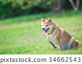 柴犬 叢林犬 毛孩 34662543
