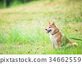 柴犬 叢林犬 毛孩 34662559