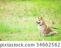 柴犬 叢林犬 毛孩 34662562