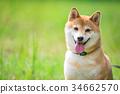 柴犬 丛林犬 狗 34662570