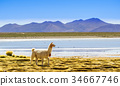 Lama by lagoon in Altiplano of bolivia 34667746