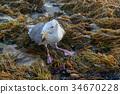 Injured Western Gull in Rugged Coastline 34670228