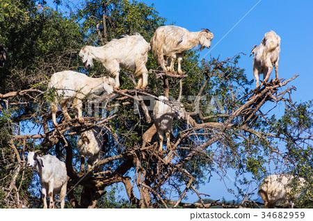 나무에 오르는 염소 34682959