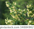 branches of flowering linden 34684962