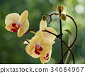 yellow orchids 34684967