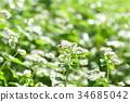 蜜蜂 蜜蜂科 花朵 34685042