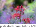 cluster amaryllis, red spider lily, licorice 34685320