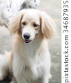 cute lovely white long hair young crossbreed dog  34687935